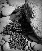 Neurotic Images Photography Prints - Seaweed and Rocks BW Print by Chalet Roome-Rigdon