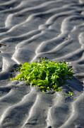 Marilyn Wilson - Seaweed on the Sands