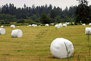 Ed Nicholles Acrylic Prints - Secret Fraser Valley Giant Marshmallow Farm Acrylic Print by Ed Nicholles