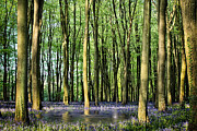 Simon Bratt Photography Prints - Secret pond in bluebell woods Print by Simon Bratt Photography