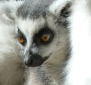 Margaret Saheed - Secure Young Ring-tailed...