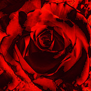 Maggie Vlazny Prints - Seductive Red Rose Print by Maggie Vlazny