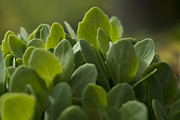 Green Foliage Posters - Sedum Spectabile Poster by Rebecca Sherman