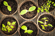 Soil Prints - Seedlings growing in peat moss pots Print by Elena Elisseeva