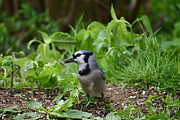 Bluejay Metal Prints - Seedy Bluejay Metal Print by Raymond Clark