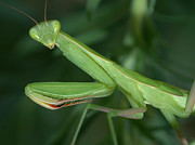 Mantid Prints - Seeing Green Print by Shane Bechler