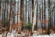 Winter Scenes Rural Scenes Posters - Seeing the Trees Thru the Forest Poster by Bill  Wakeley