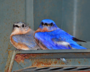Bluebird Metal Prints - Seeking Shelter Metal Print by Al Powell Photography USA