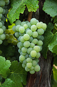 Grape Leaves Photos - Semillon Cluster by Craig Lovell