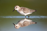 Feeding Birds Prints - Semipalmated Sandpiper III Print by Clarence Holmes