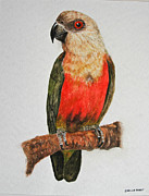 Sheila West - Senegal Parrot