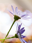 Pericallis Photo Posters - Senetti Poster by Dorothy Lee