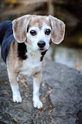Kelley Nelson - Senior Beagle