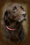 Abandoned Pets Posters - Senior Chocolate Lab Poster by Jak of Arts Photography