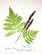Roberta Jean Smith - Sensitive Fern 2