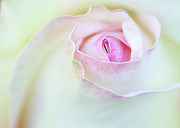 Macro Art Framed Prints - Sensual Rose Framed Print by Sabrina L Ryan