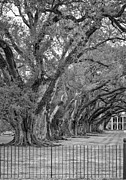 Oak Alley Plantation Photo Prints - Sentinels monochrome Print by Steve Harrington