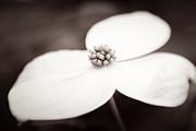 Lisa McStamp - Sepia Dogwood Bloom