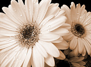 Rain Drop Photo Posters - Sepia Gerber Daisy Flowers Poster by Jennie Marie Schell