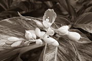 Stopper Prints - Sepia Ginger Lily Blossom and Bug Print by Connie Fox