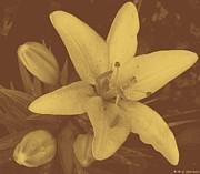 M C Sturman - Sepia Lily
