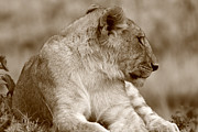 Wildlife Photography Prints - Sepia Lion Portrait Print by Aidan Moran