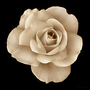 Umber Metal Prints - Sepia Rose Flower Portrait Metal Print by Jennie Marie Schell