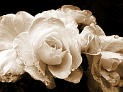 Monochrome Prints - Sepia Roses with Rain Drops Print by Jennie Marie Schell