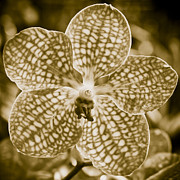 Orchid Framed Prints - Sepia Symmetry Framed Print by Steve Smith