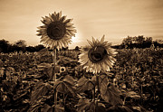 Christopher L Nelson - Sepia Tone Sunflowers