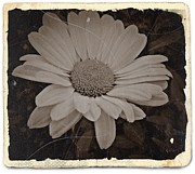 Aster  Mixed Media - Sepia Vintage Daisy 2 by Chalet Roome-Rigdon