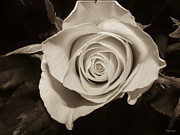Photo Manipulation Photo Posters - Sepia white Rose Poster by Yvon -aka- Yanieck  Mariani