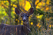 Mule Deer Buck Photograph Photos - September Morning by Jim Garrison