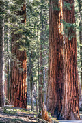 Sequoia Tree Prints - Sequoia National Park 1 Print by Steve Sturgill