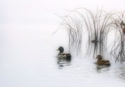 Mallards Photos - Serene Moments by Karol  Livote