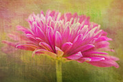 Daphne Sampson - Serene Pink Chrysanthemum
