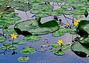 Lilly Pad Photos - Serene to the Extreme by Robert Harmon