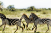 Repetition Photo Originals - Serengeti Migration Blurr - 4543 by Amyn Nasser