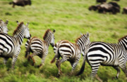 Repetition Photo Originals - Serengeti Migration Blurr - 4648 by Amyn Nasser