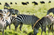 Repetition Photo Originals - Serengeti Migration Blurr - 5225 by Amyn Nasser