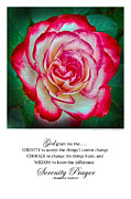Serenity Prayer Print. Framed Prints - Serenity Prayer Print -- Rose at Brookside Gardens Framed Print by Spirit Greetings