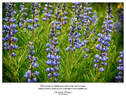 Serenity Prayer Print. Framed Prints - Serenity Prayer Print -- Silvery Lupine at Alpine Pond Framed Print by Spirit Greetings