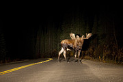 Denali National Park Photos - Serious Road Hazard by Tim Grams