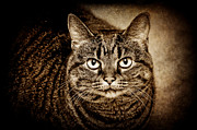 Relaxed Framed Prints - Serious Tabby Cat Framed Print by Andee Photography