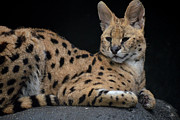 Maggy Marsh - Serval at Rest