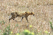 Serval Art - Serval Cat - Kenya by Aidan Moran