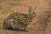 Serval Art - Serval Wild Cat by Tony Murtagh