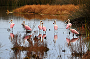 Waterbird Posters - Seven Spoonbills Poster by Al Powell Photography USA