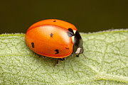 Beetle Framed Prints - Seven-spotted Lady Beetle I Framed Print by Clarence Holmes