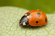 Beetle Art - Seven-spotted Lady Beetle II by Clarence Holmes